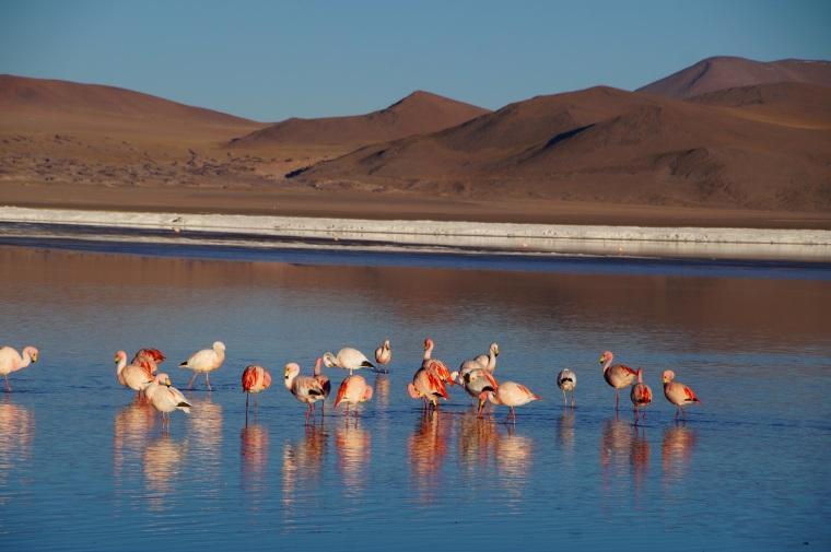 Uyuni Salt Flat Flamingoes